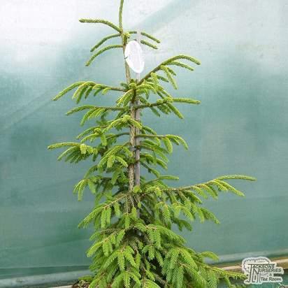 Buy Picea orientalis 'Aureospicata' (Golden Caucasian Spruce) online from Jacksons Nurseries