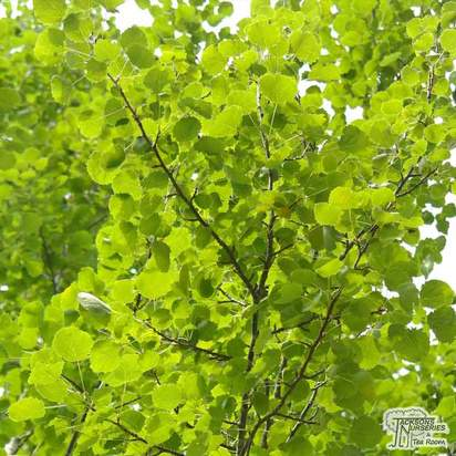 Buy Populus tremula (Aspen) online from Jacksons Nurseries