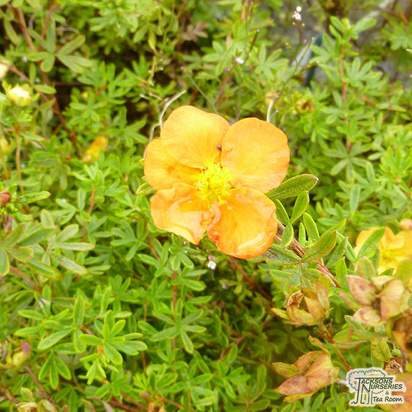 Buy Potentilla fruticosa Sunset (Shrubby Cinquefoil) online from Jacksons Nurseries.