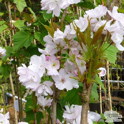 Buy Prunus Amanogawa (Japanese Flowering Cherry) online from Jacksons Nurseries