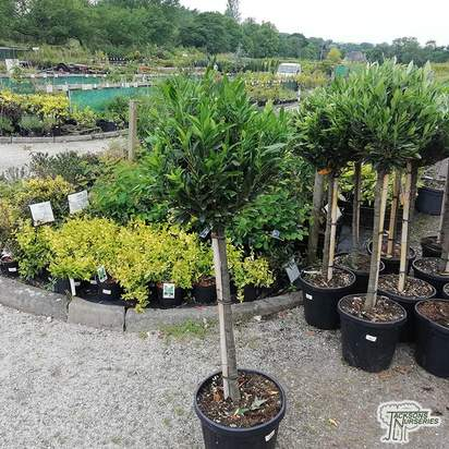 Buy Prunus laurocerasus Otto Luyken  (Dwarf Laurel) online from Jacksons Nurseries