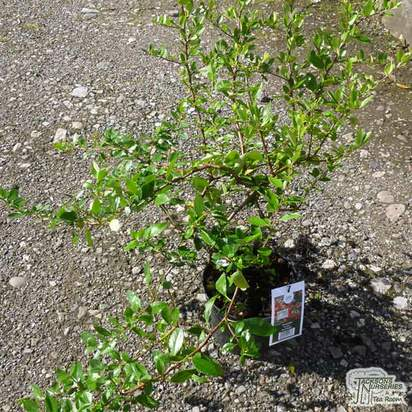 Buy Pyracantha coccinea Red Column online from Jacksons Nurseries