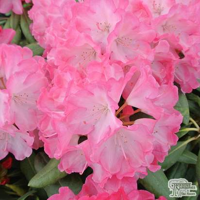 Buy Rhododendron Fantastica (Rhododendron) online from Jacksons Nurseries.
