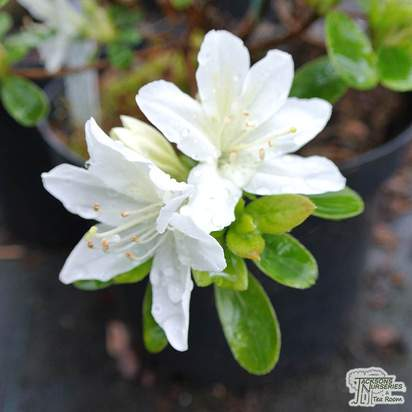 Buy Rhododendron azalea 'Diamond White' online from Jacksons Nurseries
