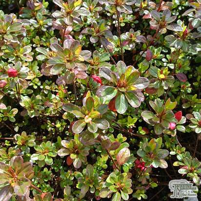 Buy Rhododendron Mother's day (Evergreen Dwarf Japanese Azalea) online from Jacksons Nurseries