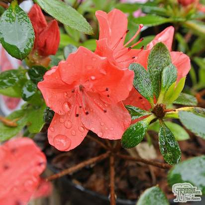 Buy Rhododendron japonica Geisha Orange 'Satschiko' (Evergreen Dwarf Japanese Azalea) online from Jacksons Nurseries