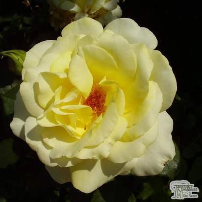Buy Rosa Elina (Hybrid Tea Rose) online from Jacksons Nurseries