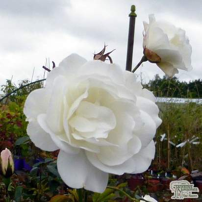 Buy Rosa Iceberg online from Jacksons Nurseries