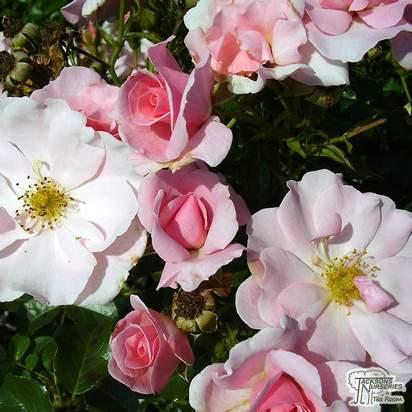 Buy Rosa Queen Mother (Patio Rose) online from Jacksons Nurseries