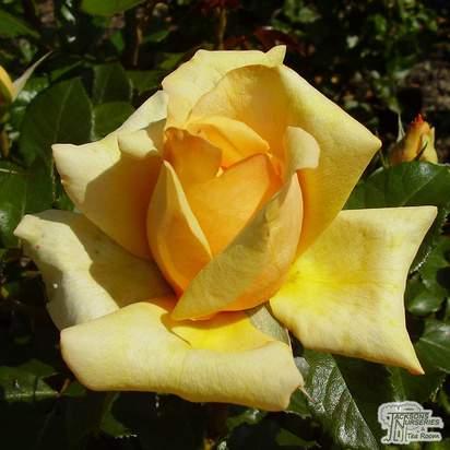 Buy Rosa Simply the Best online from Jacksons Nurseries