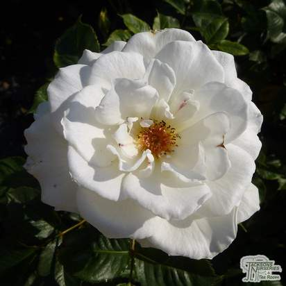 Buy Rosa Margaret Merril online from Jacksons Nurseries