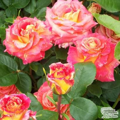 Buy Rosa With Thanks (Hybrid Tea Rose) online from Jacksons Nurseries