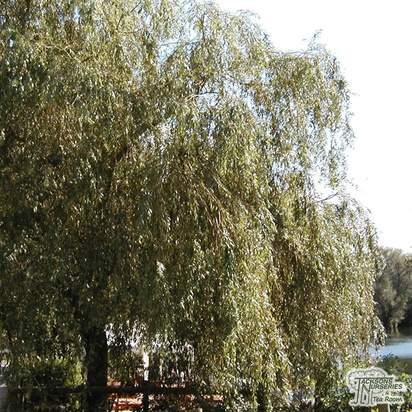 Buy Salix x sepulcralis Chrysocoma (Golden Weeping Willow) online from Jacksons Nurseries