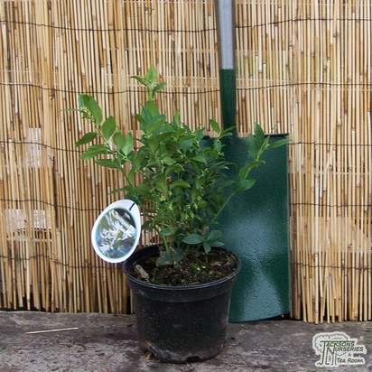 Buy Sarcococca confusa (Sweet Box) online from Jacksons Nurseries