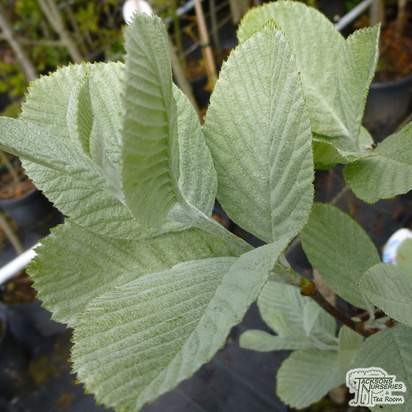 Buy Sorbus aria Lutescens (Whitebeam) online from Jacksons Nurseries