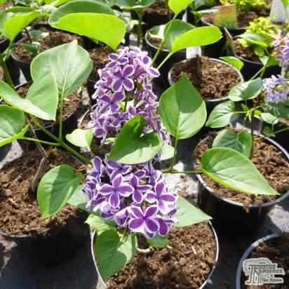 Buy Syringa vulgaris Sensation at Jacksons Nurseries