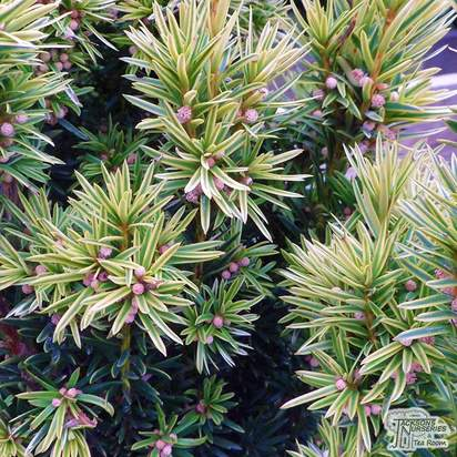 Buy Taxus baccata 'Fastigiata Aureomarginata'  (Golden Irish Yew) in the UK