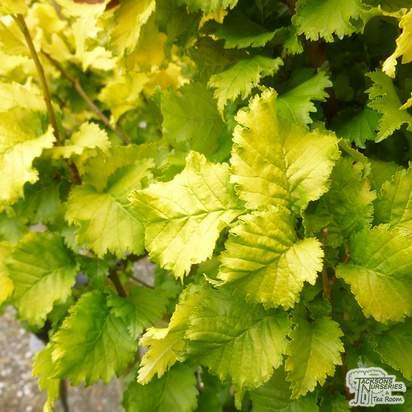 Ulmus x hollandica 'Wredei' (Upright Golden Elm)