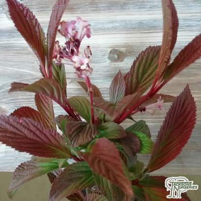 Buy Viburnum x bodnantense Dawn from Jacksons Nurseries