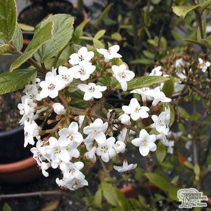 Buy Viburnum x burkwoodii (Laurustinus) online from Jacksons Nurseries.