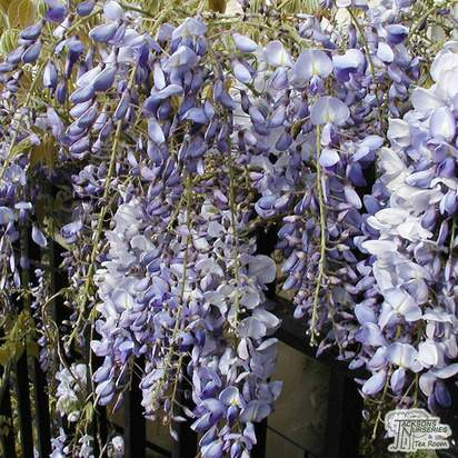 Buy Wisteria floribunda 'Ed's Blue Dragon' at Jacksons Nurseries