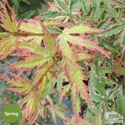 Buy Acer palmatum 'Kagiri-nishiki' (Japanese Maple) online from Jacksons Nurseries