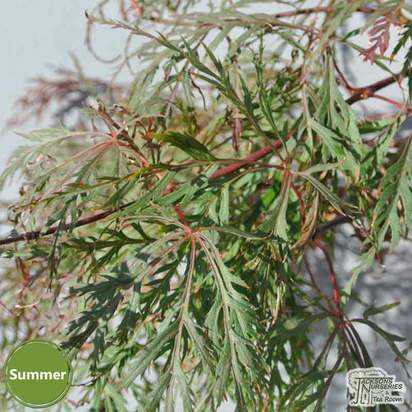 Buy Acer palmatum dissectum 'Baldsmith'  (Japanese Maple) online from Jacksons Nurseries