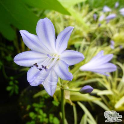 Buy Agapanthus 'Golden Drop' (African Lily) online from Jacksons Nurseries