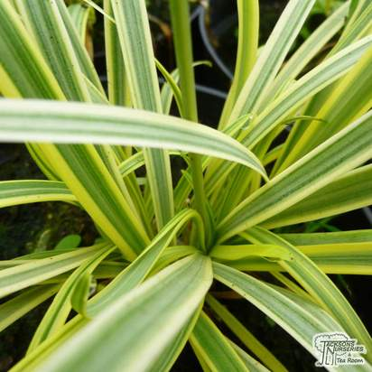 Buy Agapanthus 'Golden Drop' (African Lily) foilage online from Jacksons Nurseries