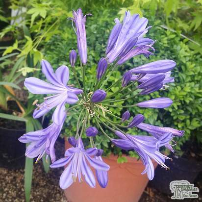 Buy Agapanthus 'Sofie' (African Lily) online from Jacksons Nurseries