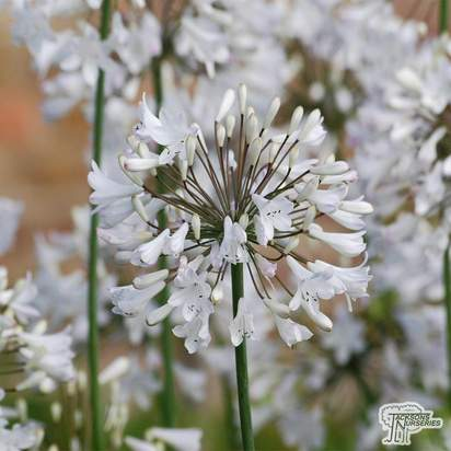 Buy Agapanthus africanus 'Starburst White' online from Jacksons Nurseries
