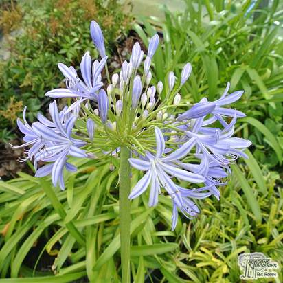 Buy Agapanthus Africanus (African Lily) online from Jacksons Nurseries