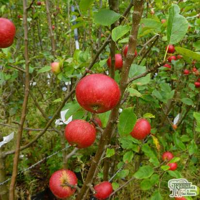Buy Apple - Malus domestica Discovery online from Jacksons Nurseries