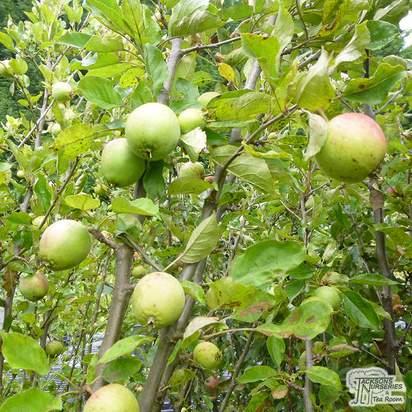 Buy Apple - Malus domestica Jupiter online from Jacksons Nurseries