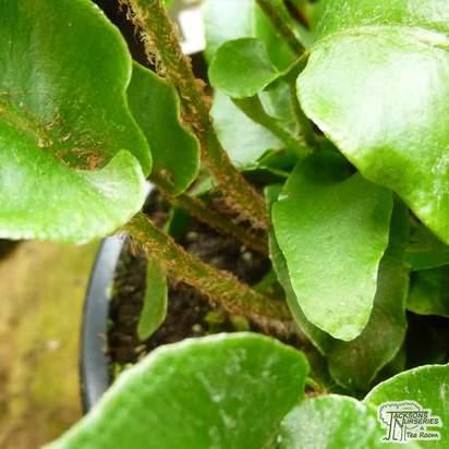 Buy Asplenium scolopendrium stems