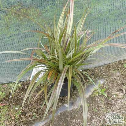 Buy Astelia nervosa 'Westland' (Silver Flax) online from Jacksons Nurseries.