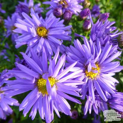 Buy Aster novi-belgii 'Lady in Blue' online from Jacksons Nurseries