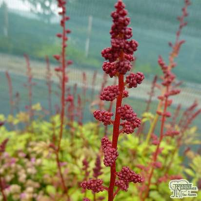 Buy Astilbe Fanal x arendsii (False Goatsbeard) online from Jacksons Nurseries