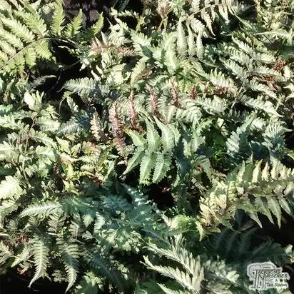 Buy Athyrium niponicum var. pictum (Painted fern) online from Jacksons Nurseries.