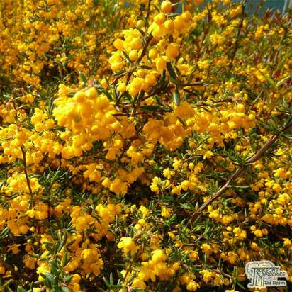 Buy Berberis x stenophylla online from Jacksons Nurseries