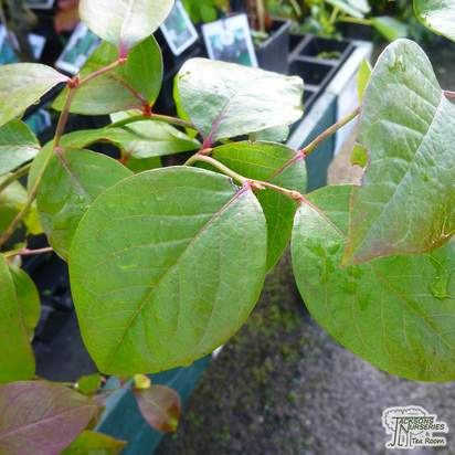 Buy Blueberry - Vaccinium corymbosum Bluecrop online from Jacksons Nurseries