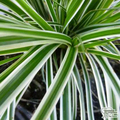 Buy Carex oshimensis 'Everest' online from Jacksons Nurseries