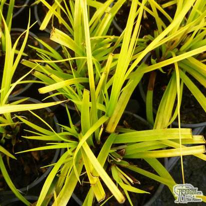 Buy Carex oshimensis 'Everillo' online from Jacksons Nurseries