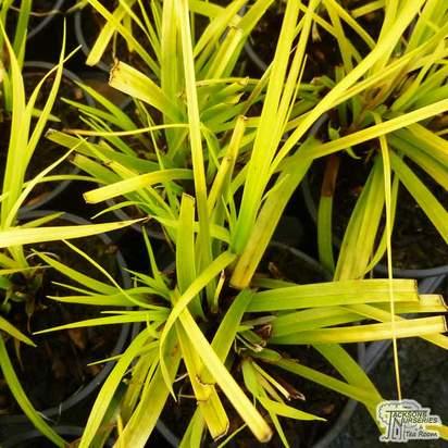 Buy Carex oshimensis 'Everillo' online from Jacksons Nurseries