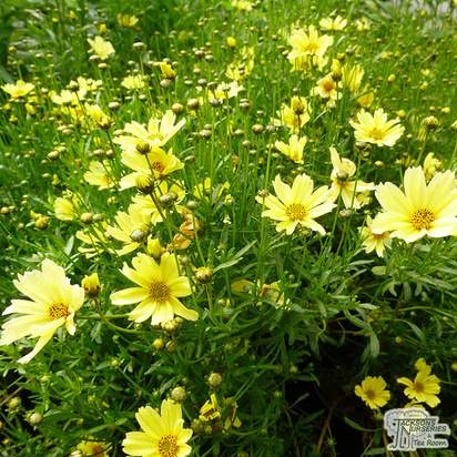 Buy Coreopsis Creme Brulee (Tickseed) online from Jacksons Nurseries