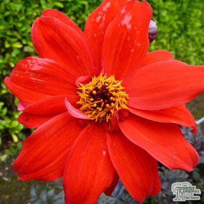Buy Dahlia 'Bishop of Llandaff online from Jacksons Nurseries.