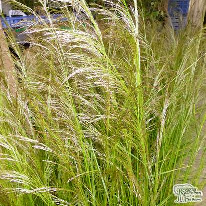 Buy Deschampsia cespitosa Goldtau (Tufted Hair Grass) online from Jacksons Nurseries