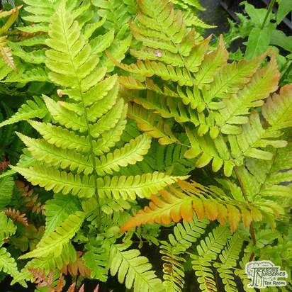 Buy Dryopteris erythrosora (Buckler Fern) online from Jacksons Nurseries
