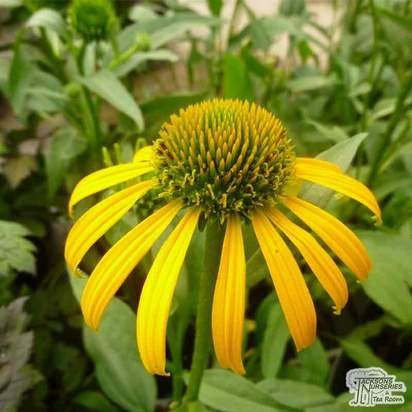 Buy Echinacea purpurea 'Skipper Yellow' (Coneflower) online from Jacksons Nurseries.