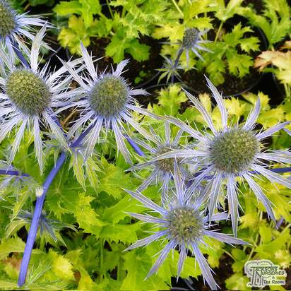 Buy Eryngium zabelii 'Neptune's Gold' (Sea Holly) online from Jacksons Nurseries